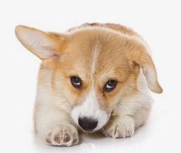 У собаки givot opuh красные глаза у собаки