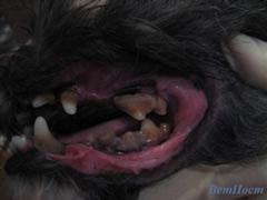 Фото до чистки зубов у собаки ультразвуком