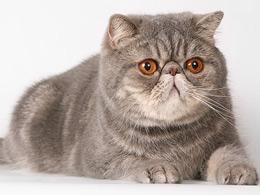 Кашель у кошек - Кашель