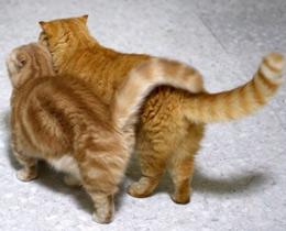 Через какое время кастрируют котов