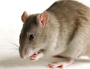 Инсульт у крыс симптомы