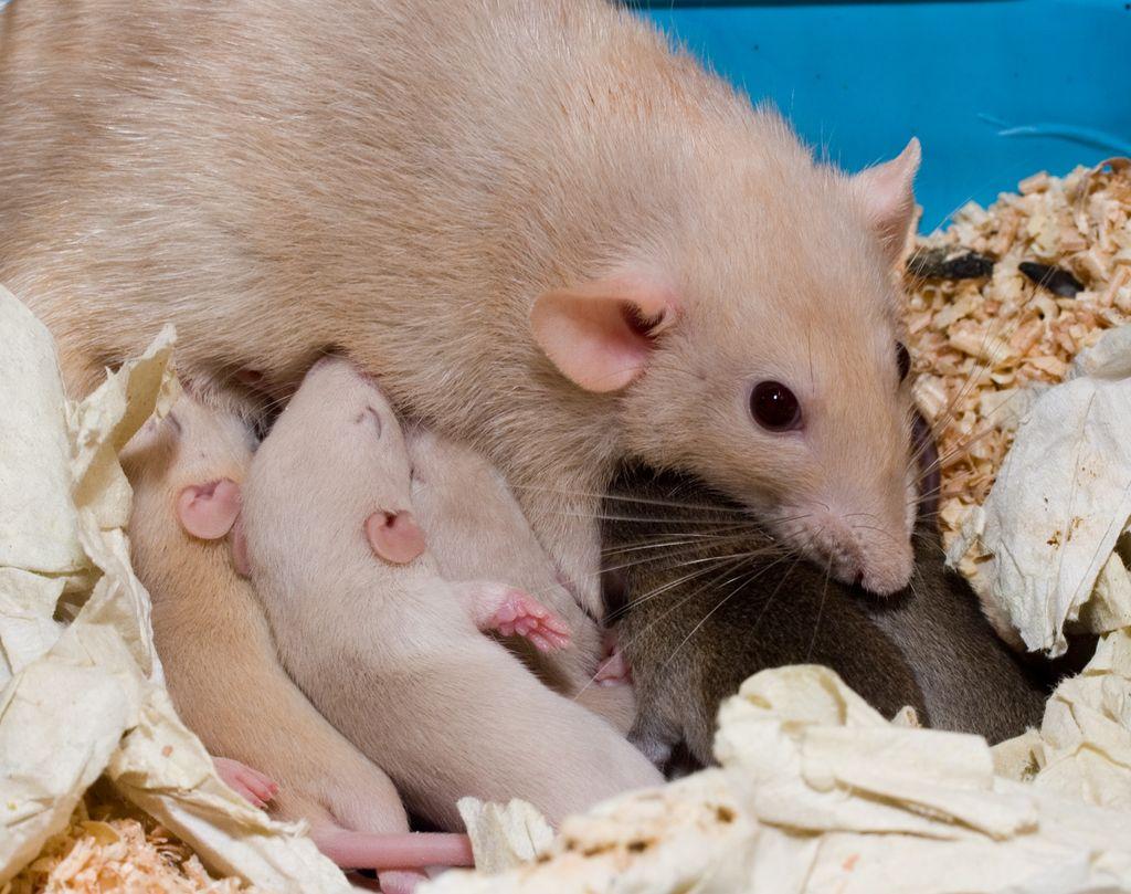 Размножение крыс, сколько длится беременность у декоративной крысы